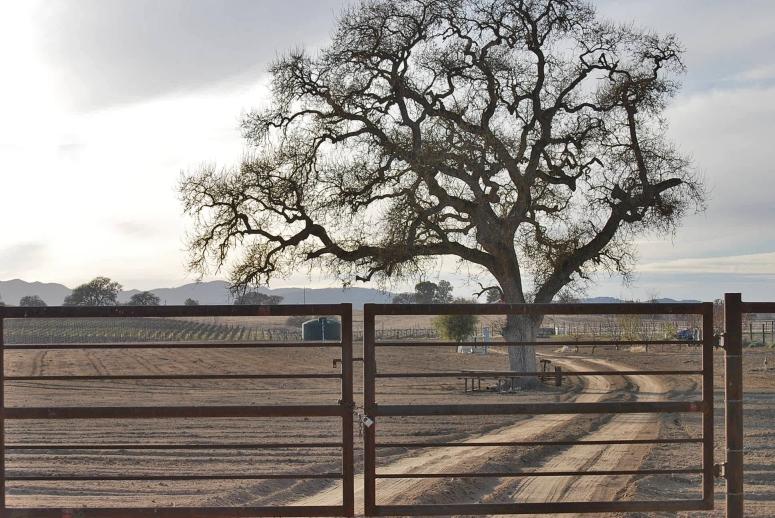 oak tree and gate